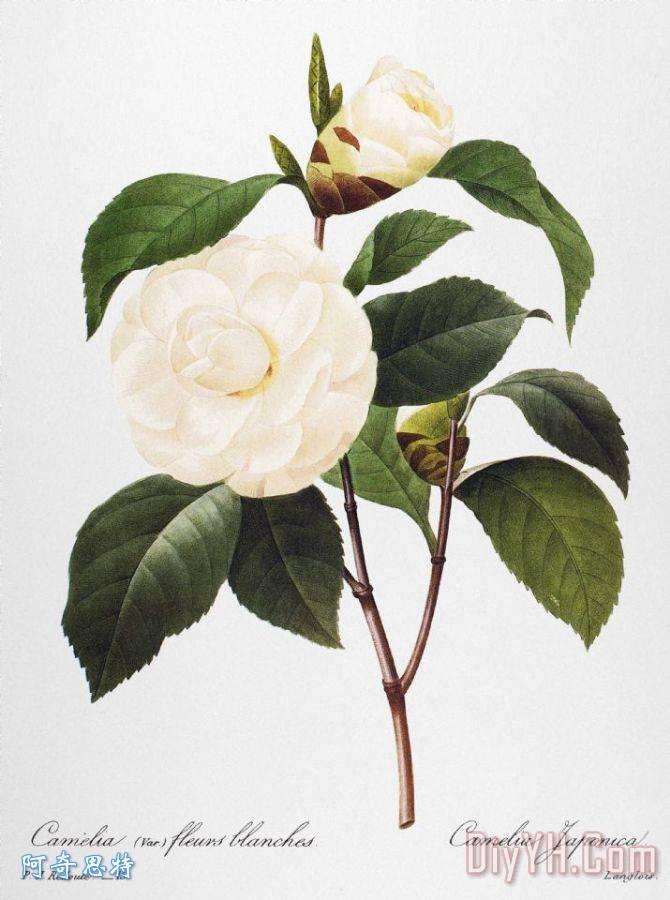茶花, 1833 - 茶花, 1833装饰画图片