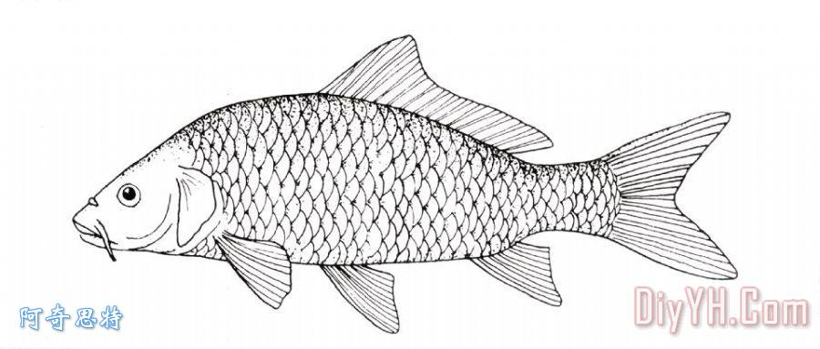 鱼类:鲤鱼