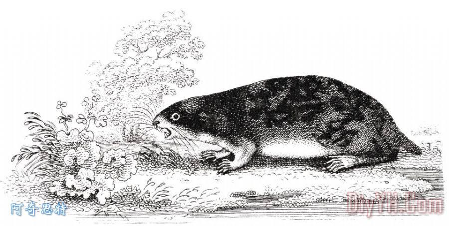 旅鼠装饰画_19世纪_雕刻艺术_动物学_生物学_旅鼠油画