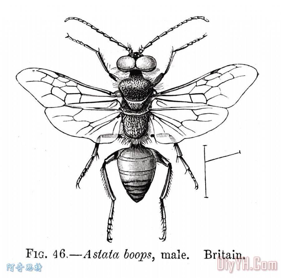 虫子:黄蜂 - 虫子:黄蜂装饰画图片