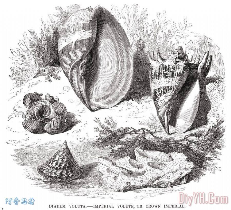 软体动物装饰画_王冠_19世纪_雕刻艺术_生物学_软体