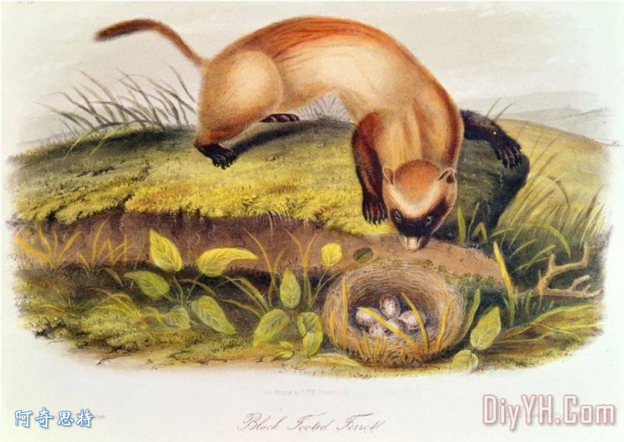 黑足鼬从北美的四足动物