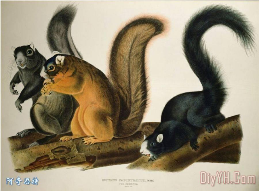 狐松鼠从美国1845年四足动物