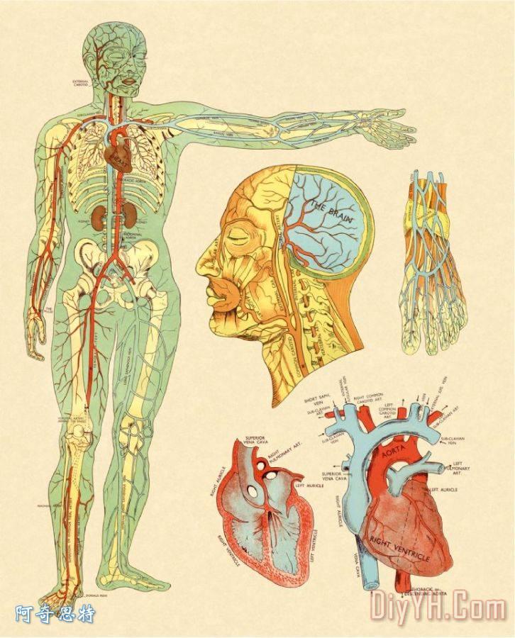 全身半静脉半动脉示意