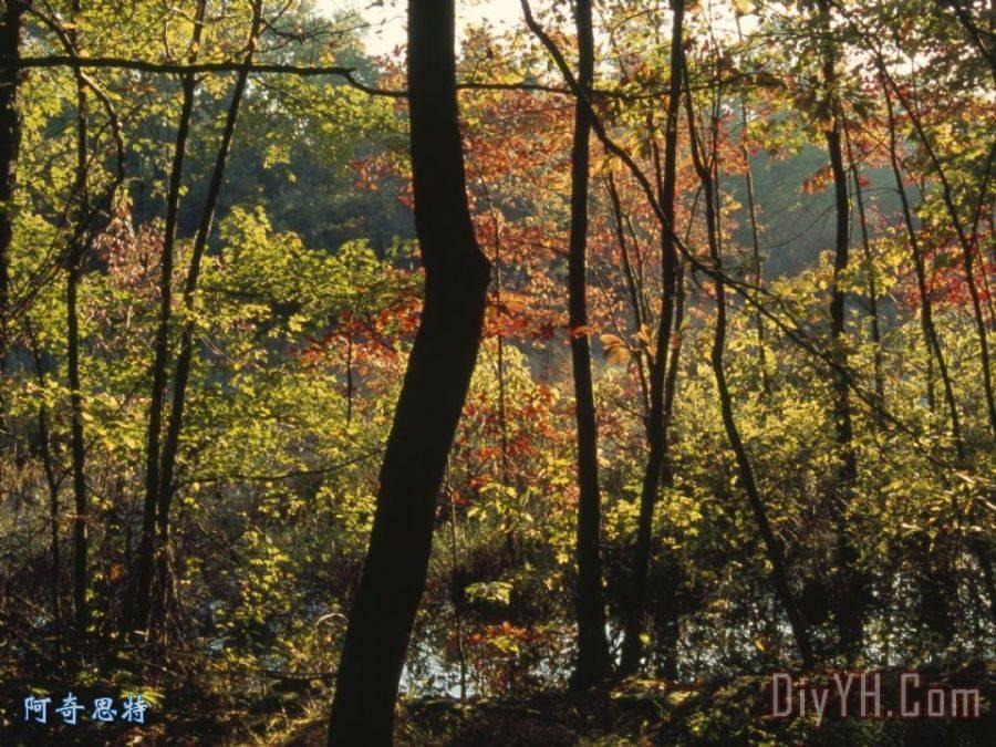 山茱萸和枫树的红叶森林