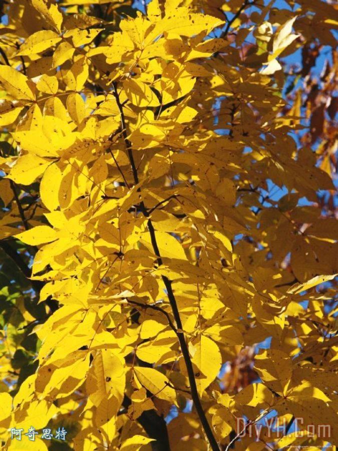 山核桃树在金色的秋天颜色装饰画