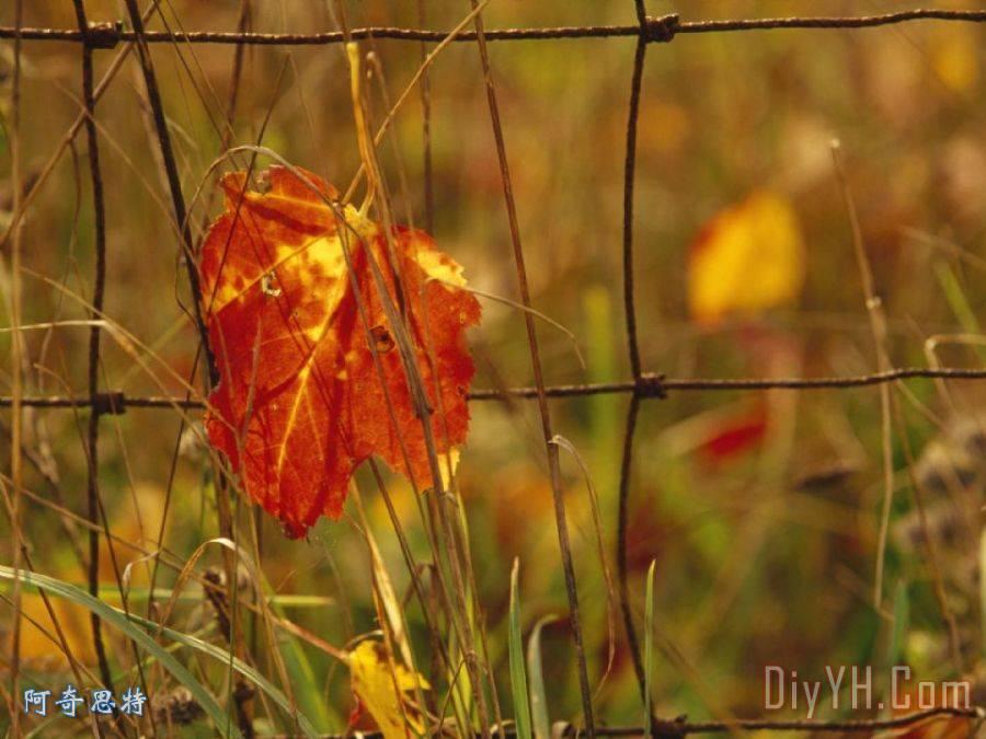 枫叶在秋天的色调陷入了贫困地区农民护栏网装饰画 枫叶在秋天的色调