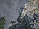 山羊统计调查的景观从它的岩石鲈鱼装饰画