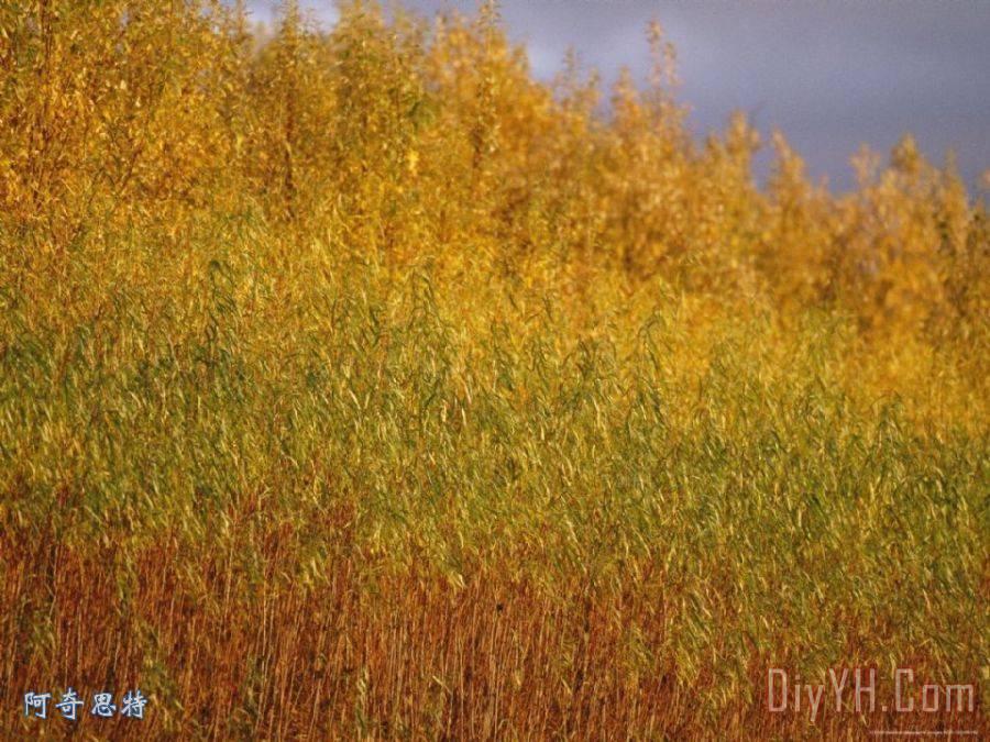 日落点亮杨柳树的红叶装饰画_风景_日落点亮杨柳树的