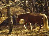 在阿巴拉契亚足迹背光在傍晚的野生母马装饰画