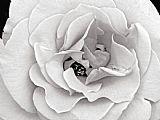 一个微妙而灿烂的玫瑰开启了她的花瓣装饰画