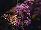 君主蝴蝶喝花蜜从野花装饰画