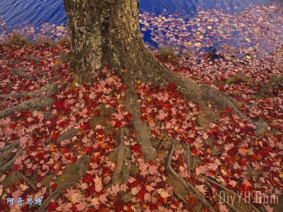 红枫树叶凋落物在地面上的树基地