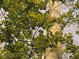 - 梧桐树枝和高大的树干