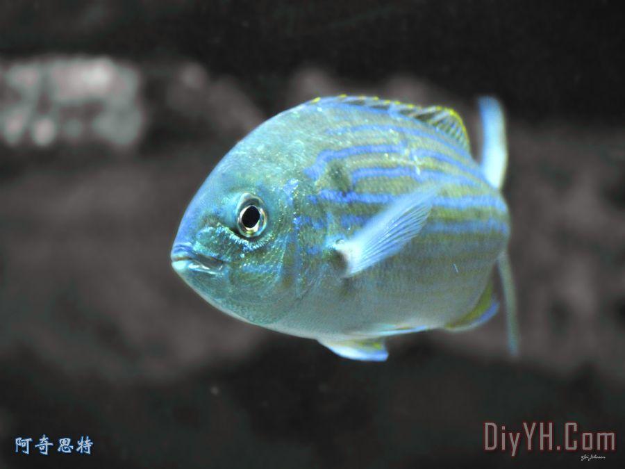 蓝色条纹鱼装饰画_动物_海洋_蓝色条纹鱼油画定制