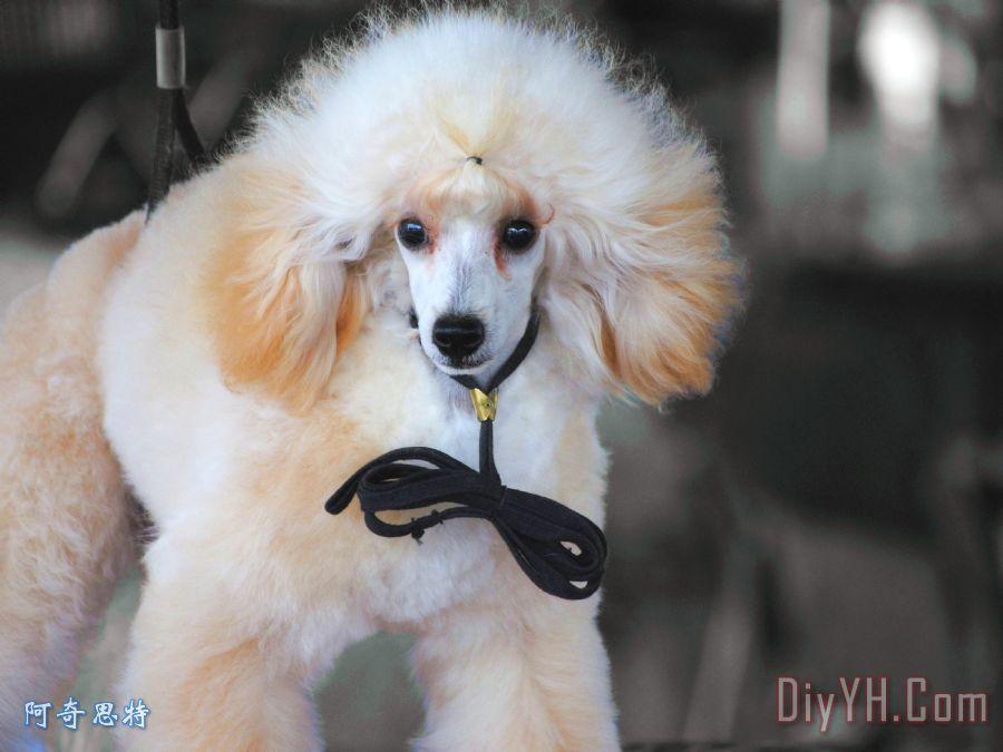 白色的玩具贵宾犬装饰画
