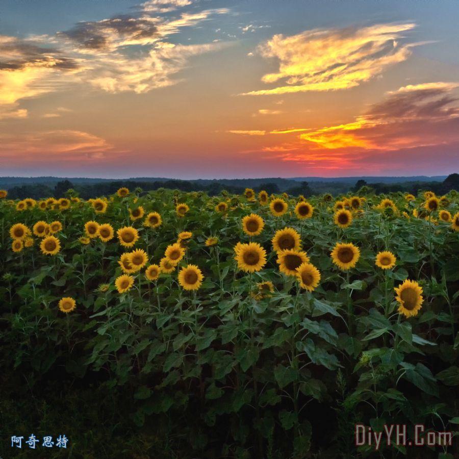 向日葵与晚霞装饰画 风景 写实 新英格兰 箍桶小溪 向日葵与晚霞油画定