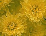 - 黄色菊花