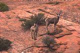 - 沙漠大角羊母羊和羔羊