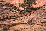 - 沙漠大角羊母羊