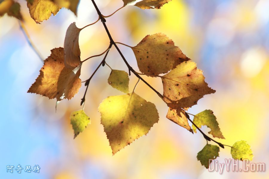 秋天的白桦树叶