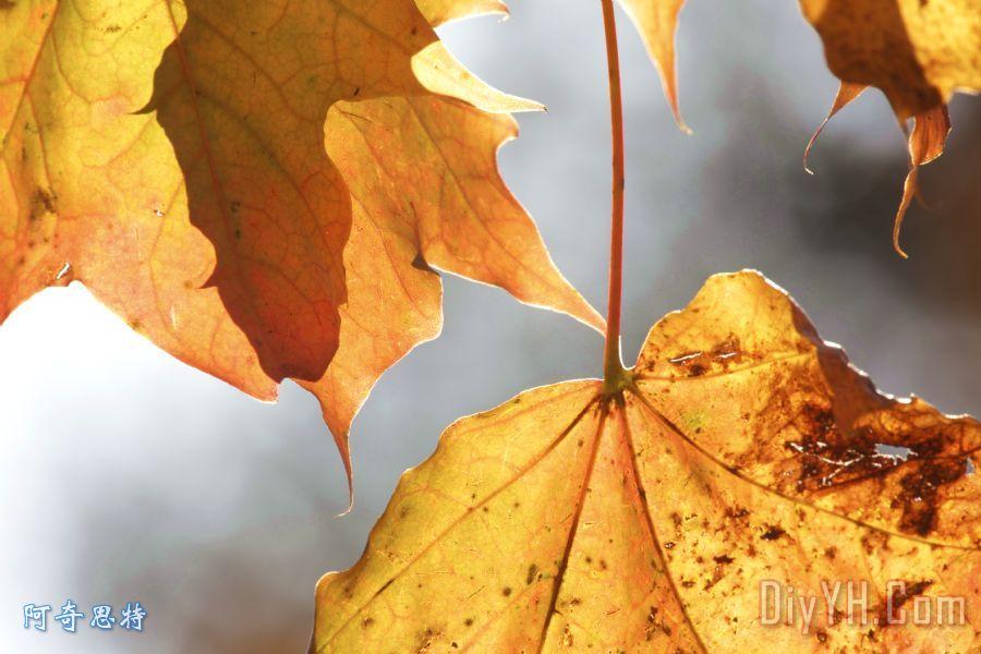 枫叶在秋天装饰画_自然_植物_叶子_枫叶在秋天油画