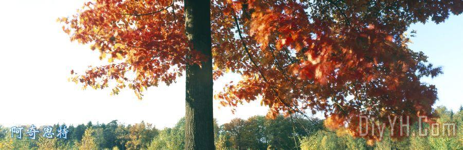 秋季红橡木树装饰画_风景_森林_木材_自然_图片大全