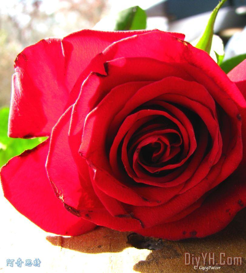 所有关于玫瑰
