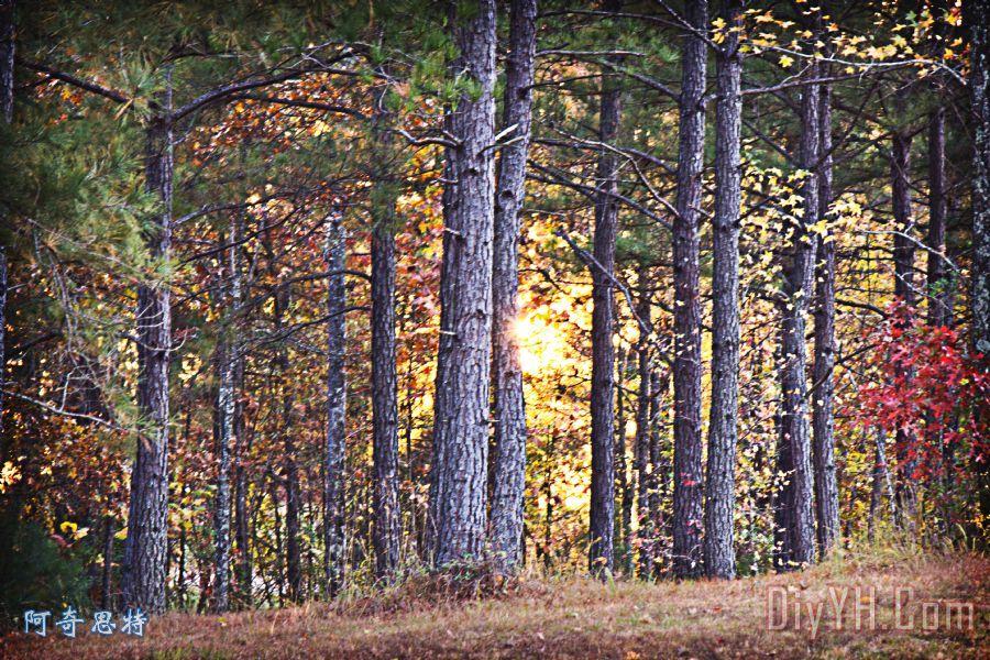 松树的种类及地理分布
