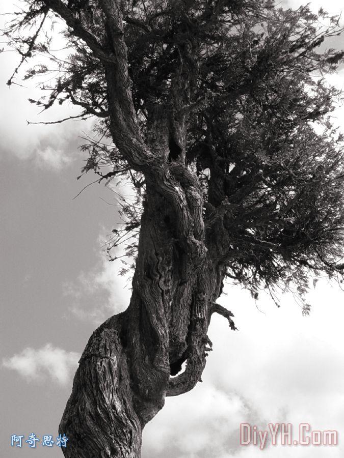 雪松树灵装饰画_照片_黑白_图片大全_阿奇思特