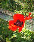 深红色 - 深红色罂粟花三