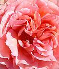 - 粉红玫瑰特写