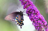 Brian的蝴蝶布什装饰画