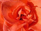 - 晨露橙色玫瑰