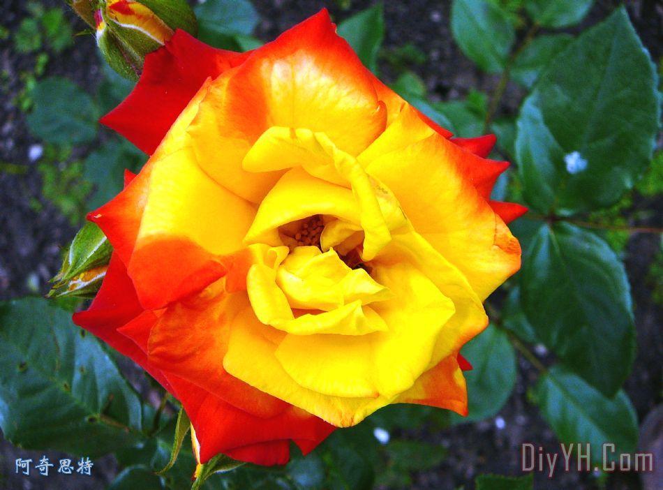 玫瑰3装饰画 风景 花卉 夏天 花朵 玫瑰3油画定制 阿奇思特图片