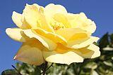 黄玫瑰1装饰画