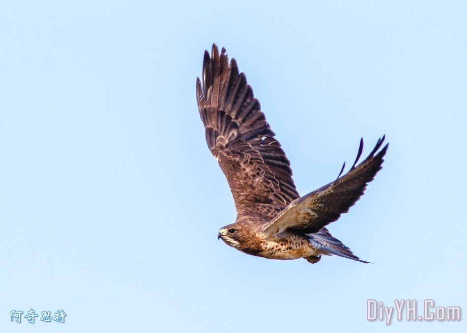 飞升斯文森的鹰ii装饰画_风景_动物_迁徙_飞升斯文森