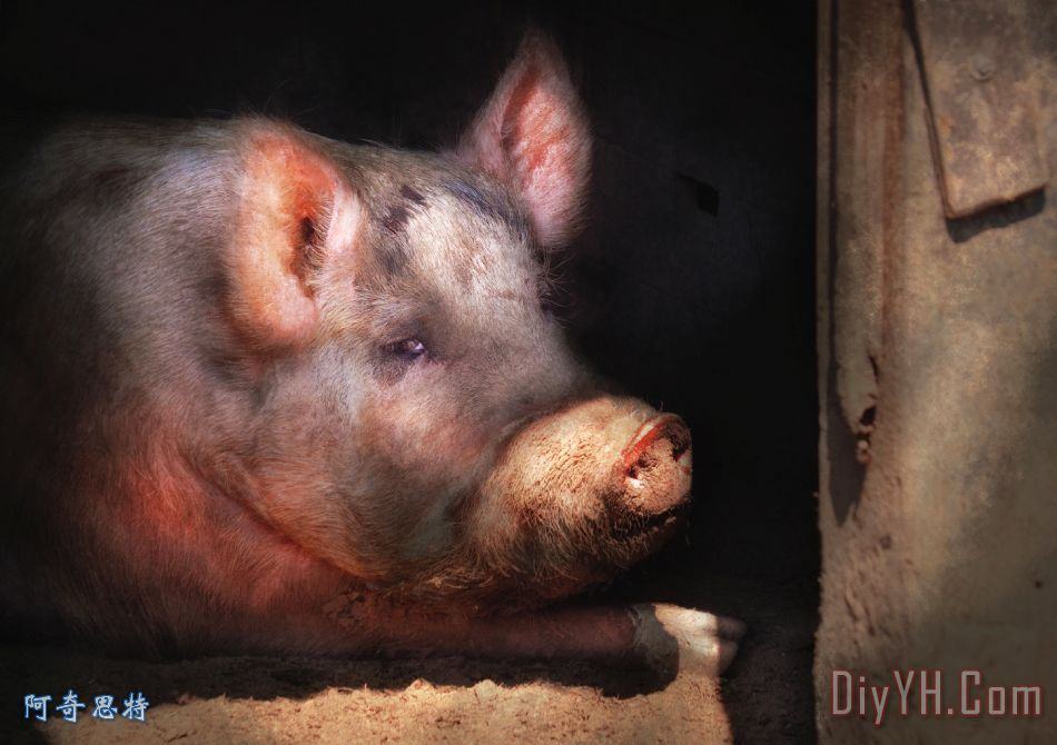 动物小猪边框图片