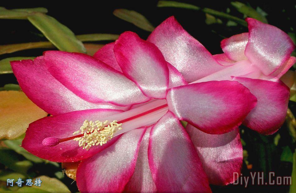 发光的仙人掌花 - 发光的仙人掌花装饰画