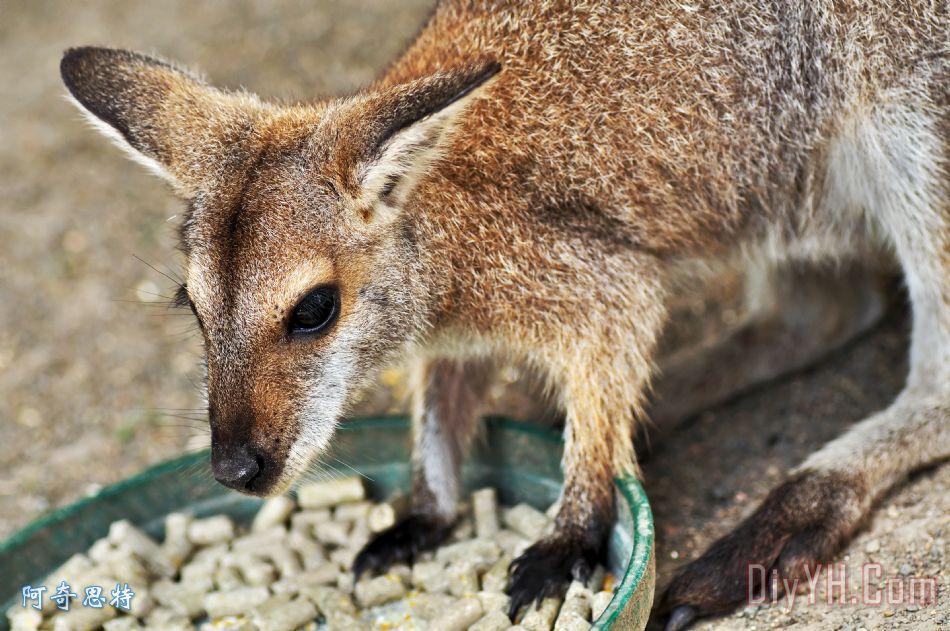红颈袋鼠装饰画_摄影_哺乳动物