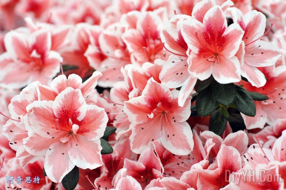 百合装饰画 花卉 花朵 百合花 淡红色的 百合油画定制 阿