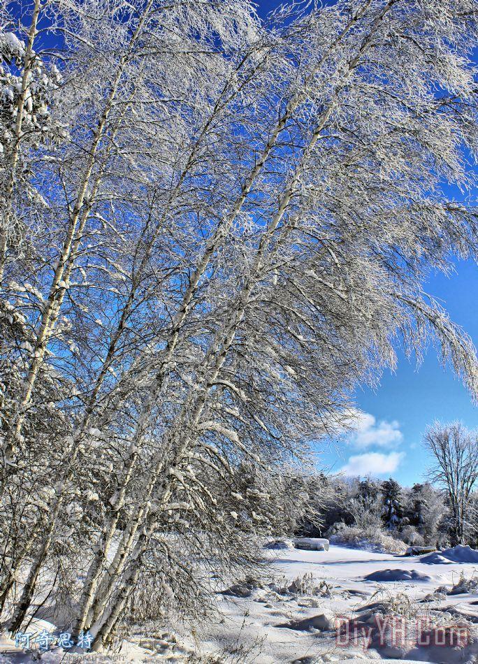 冰拉登桦树