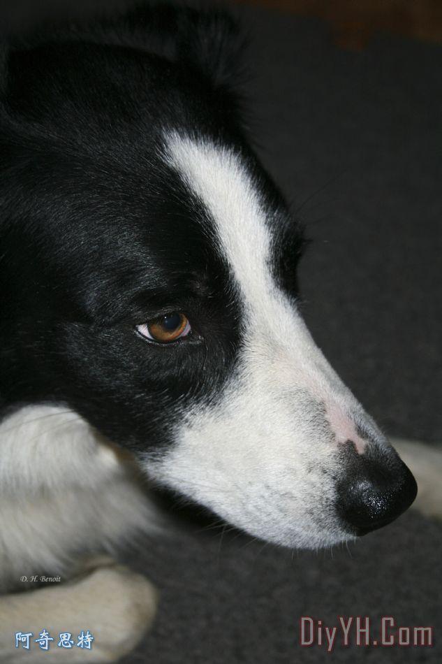新的狗朋友装饰画_动物_肖像画_宠物_新的狗朋友油画