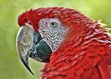 红金刚鹦鹉艺术装饰画
