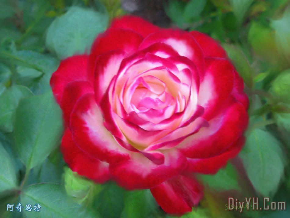 树叶画边-装饰画 自然 叶子 红边玫瑰花卉油画定制 阿奇思特