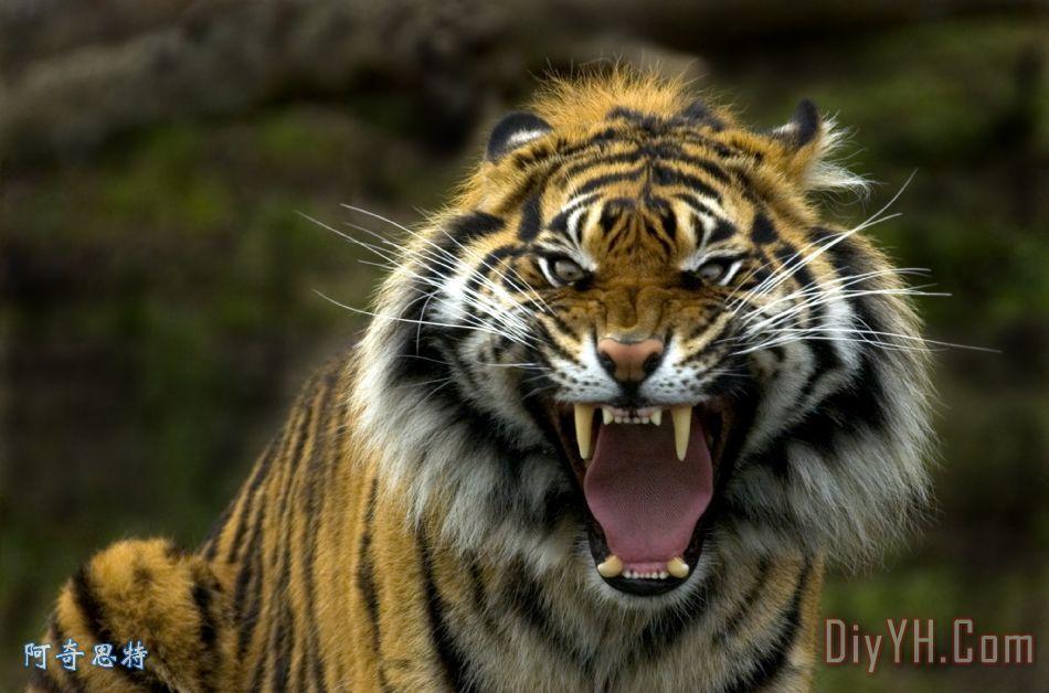 老虎的眼睛 - 老虎的眼睛装饰画