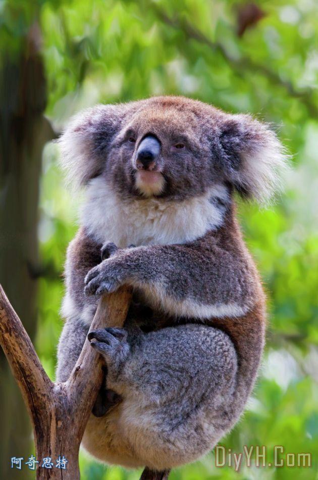 树梢考拉装饰画_动物_熊_野生的鸟兽等_澳大利亚_树梢