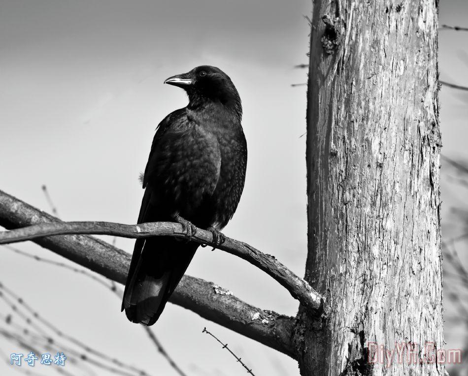 乌鸦分行装饰画 动物 自然 野生的鸟兽等 黑白 乌鸦分行油画定制 阿奇