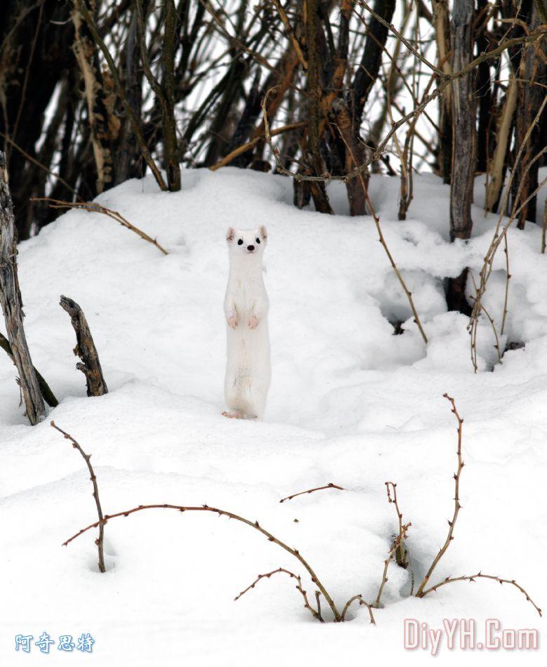 白色貂皮装饰画_动物_野生的鸟兽等