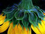 晚上向日葵装饰画